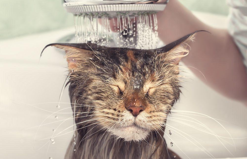 How Often Do I Bathe A Cat Totobi